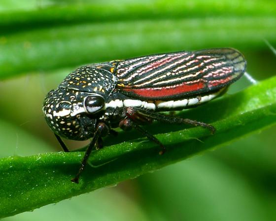 Leaf hopper? - Cuerna costalis