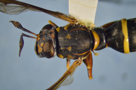 Syrphid - Sphiximorpha willistoni - female