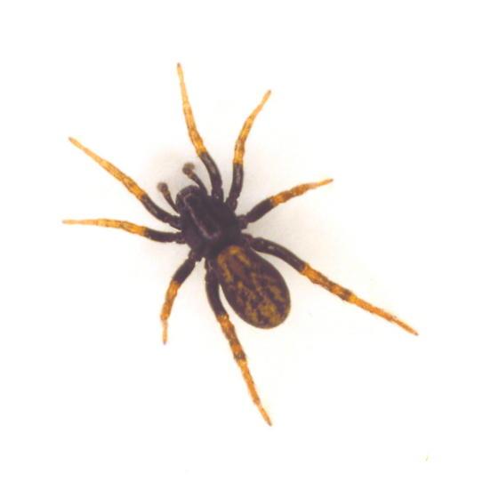 Wolf Spider - Allocosa - female
