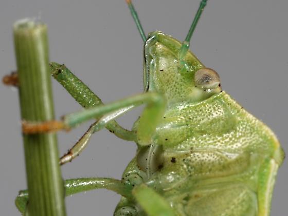 Stink bug, pentatominae of some sort? - Thyanta custator
