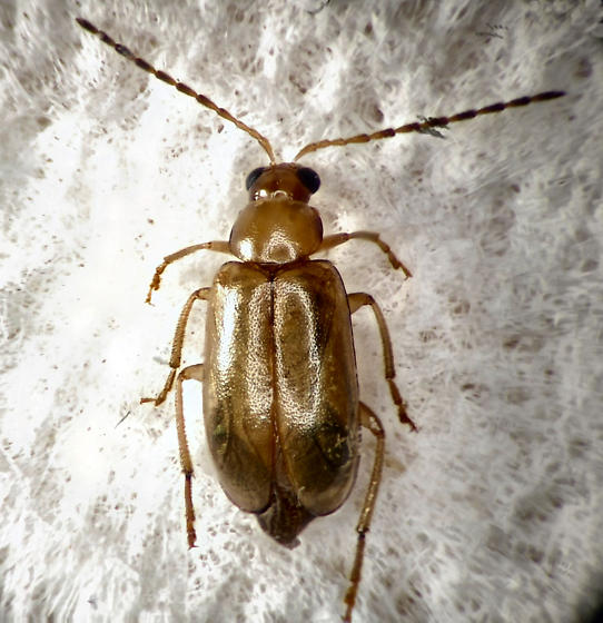 Leaf Beetle - Metrioidea