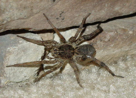 Unknown Spider - Hogna