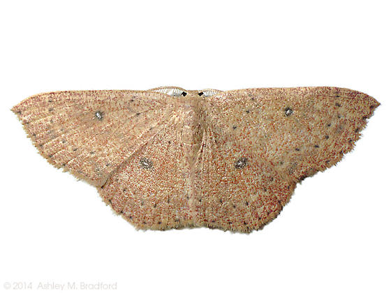 Which Cyclophora? - Cyclophora - male