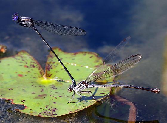 Coenagrionidae pair, mating - Argia translata - male - female