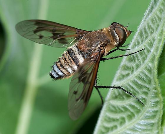 Exoprosopa - Exoprosopa pueblensis