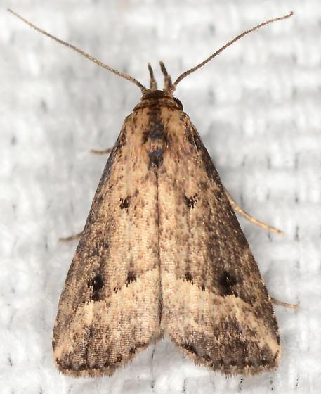 Schrankia macula - Black-spotted Schrankia - Schrankia macula