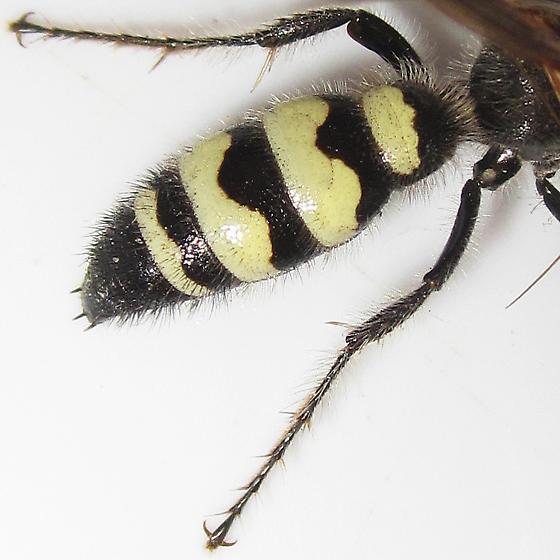 Campsomeris plumipes - Dielis plumipes - male
