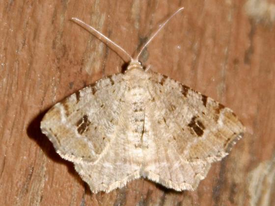 6348 Hemlock Angle (Macaria fissinotata)? - Macaria fissinotata