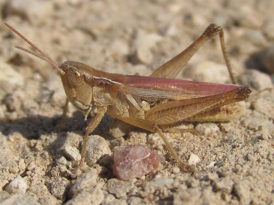 Orphulella speciosa - male