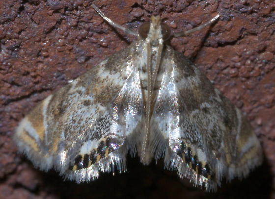 White and brown moth with metallic spots on its hind wing - Petrophila heppneri
