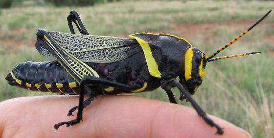 Seems to be a specimen of female Texas horse lubber, Taeniopoda eques--verification requested - Taeniopoda eques - female
