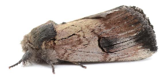 Schizura badia from Viburnum rufidulum - Schizura badia