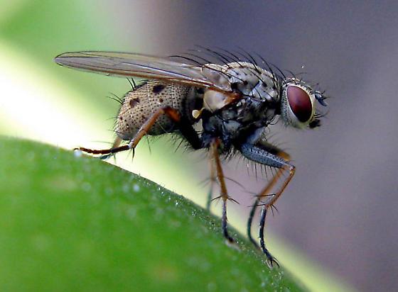 Stable Fly (Stomoxys calcitrans) or Wohlfahrtia? - Coenosia tigrina