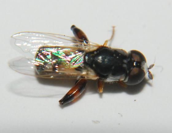 Syrphidae - Syritta flaviventris