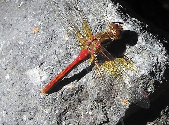 Dragonfly ID - Sympetrum pallipes