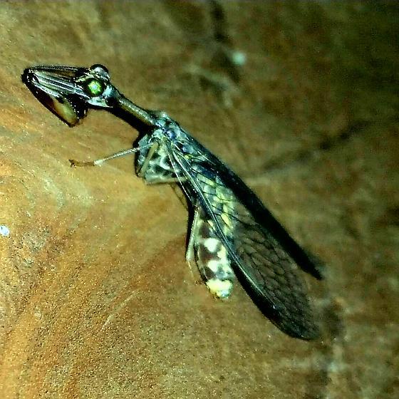 Snakefly eating Horsefly. - female
