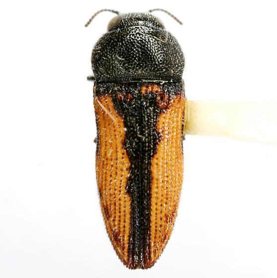 Acmaeodera starrae Knull - Acmaeodera starrae