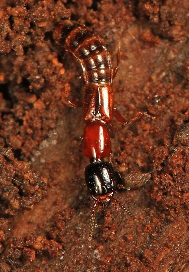 Rove Beetle - Neohypnus