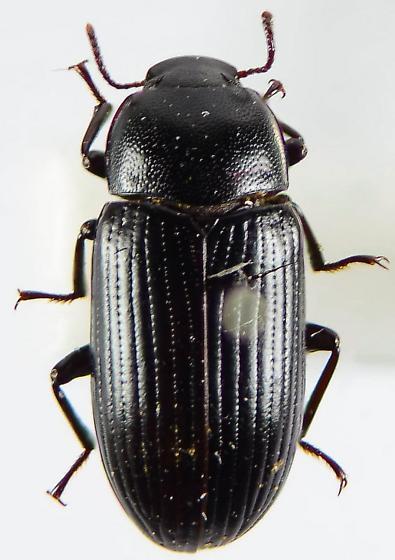 Alphitobius diaperinus/laevigatus? - Haplandrus ater