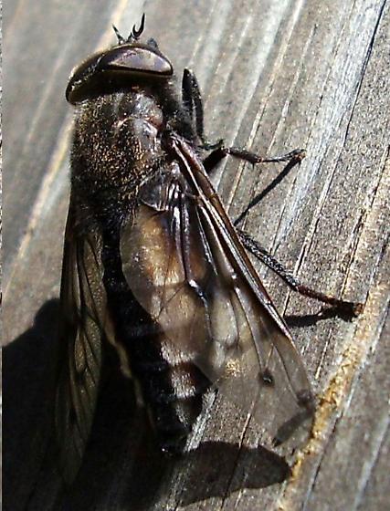 Horse fly - Agkistrocerus megerlei - male