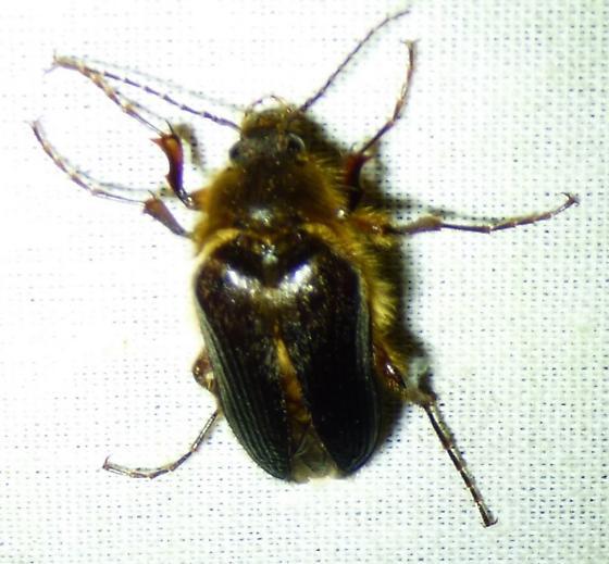 interesting insect - Scaptolenus