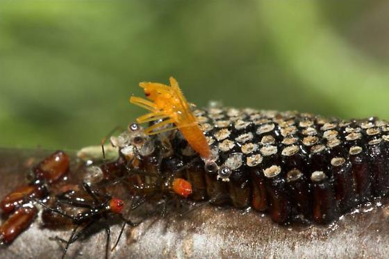 The birth of a wheel bug. - Arilus cristatus