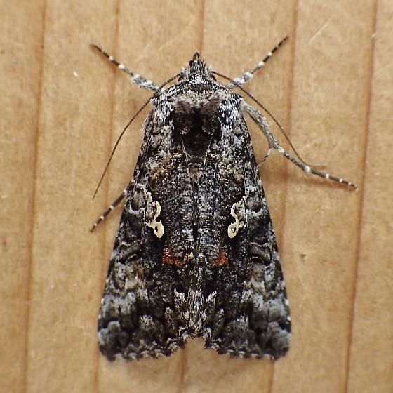 Noctuidae: Syngrapha octoscripta - Syngrapha octoscripta