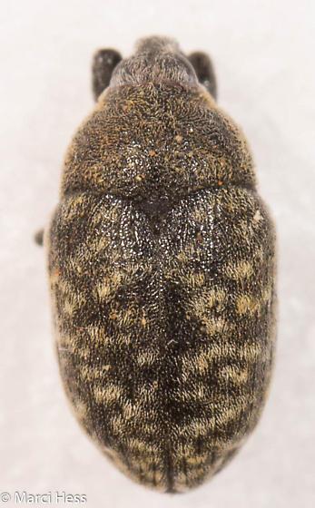 Larinus planus - Larinus obtusus