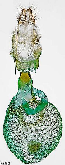genitalia - Eupithecia anticaria - female