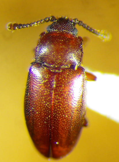 Cryptophagid - Myrmedophila americana