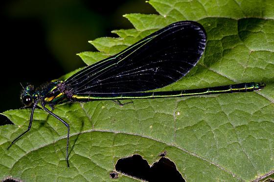 Calopteryx maculata - (Beauvois, 1805) Ebony Jewelwing - Calopteryx maculata - male