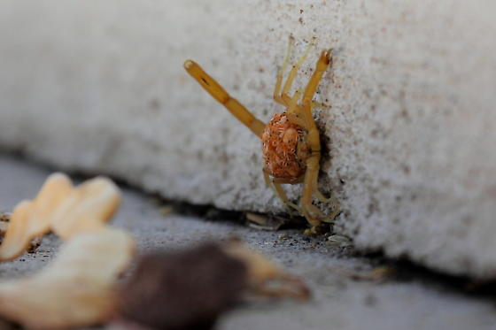Scorpion carrying babies on its back. - Centruroides sculpturatus - female