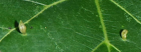 mite galls on basswood? - Eriophyes tiliae