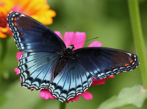 Possible Red-Spotted Purple - Limenitis arthemis