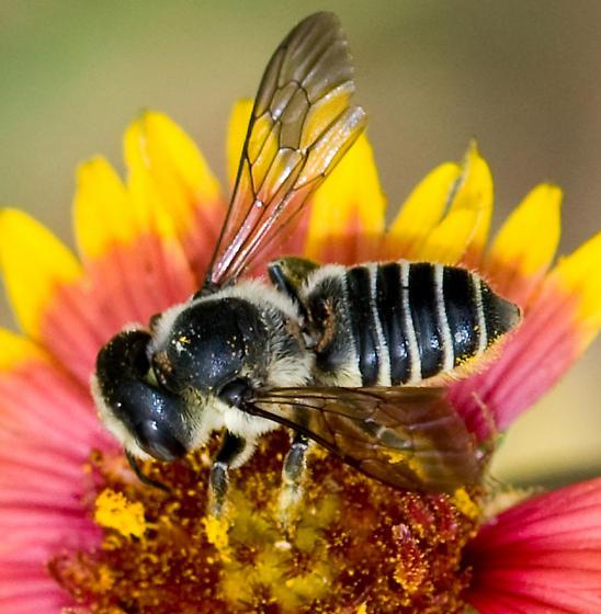 some kind of Megachile bee? - Megachile montivaga - female