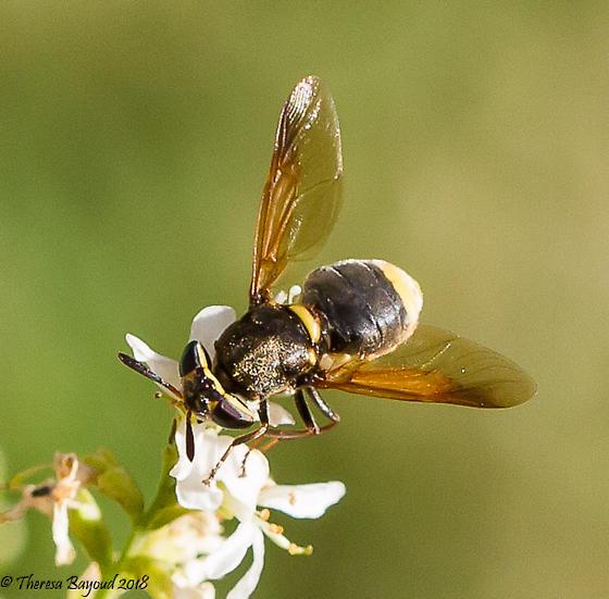 fly - Hoplitimyia mutabilis - female
