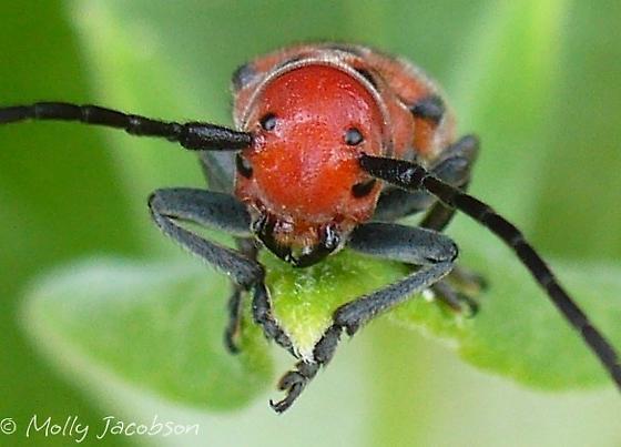 red milkweed beetle - Tetraopes tetrophthalmus