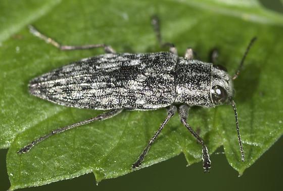 and it was a six-buprestid day - Spectralia gracilipes