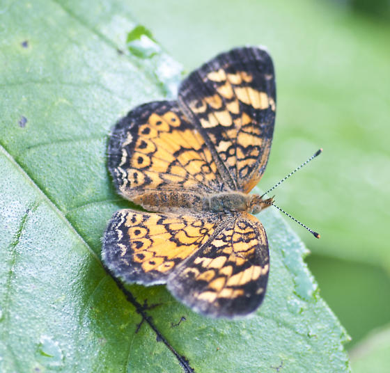 Crescent - Phyciodes tharos - female