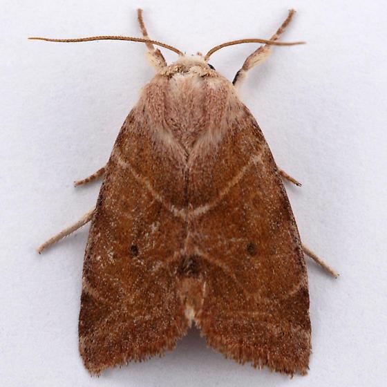 Unknown moth - Cosmia calami