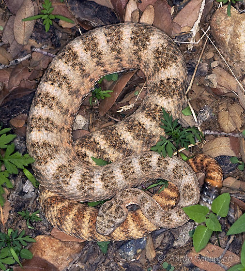 Another image of the tiger rattlesnake