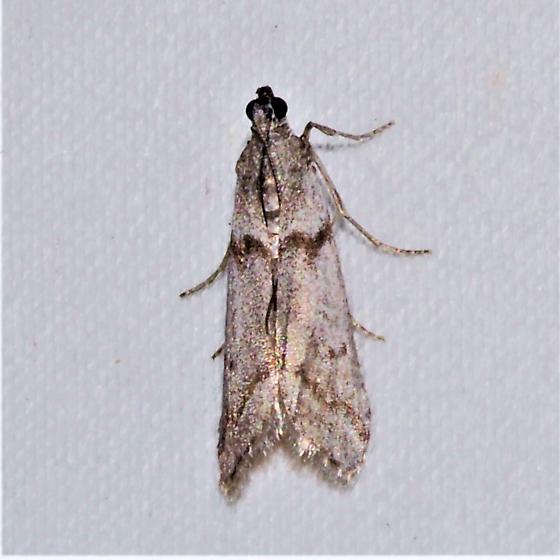 Which Phycitinae - Myelopsis alatella