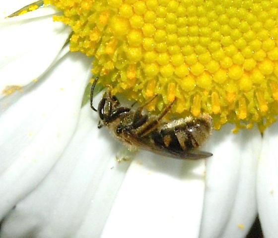 unknown small bee - Lasioglossum - female