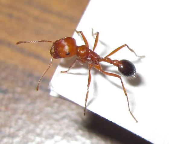Pogonomyrmex californicus - female
