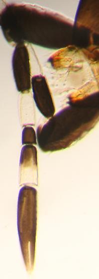 Antenna - Ablerus - female