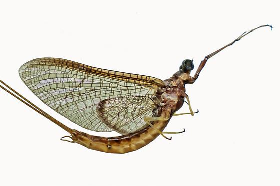 mayfly - Hexagenia bilineata