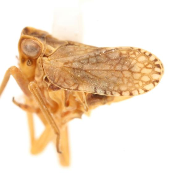 Dictyobia