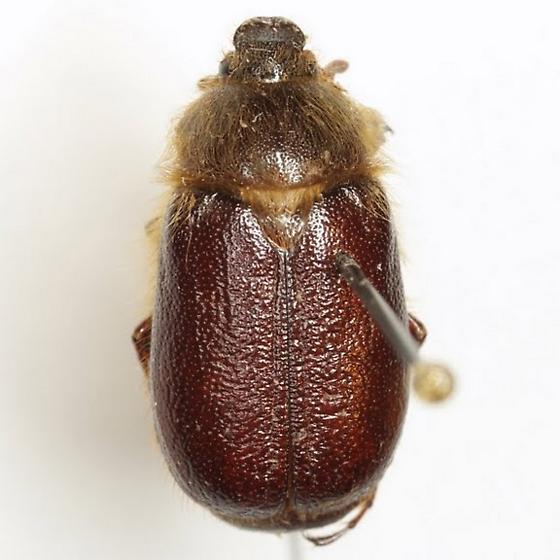 Fossocarus creoleorum Howden - Fossocarus creoleorum - male