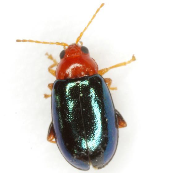 Lupraea picta (Say) - Palaeothona picta
