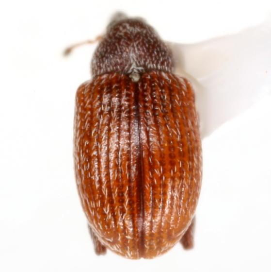 Anthonomus rufipennis LeConte - Anthonomus rufipennis